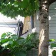 誰が植えたか桐の大木