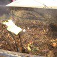 堆肥は煙を出して熟成する