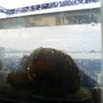 貝が水をきれいにする