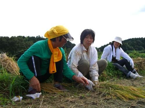 韓国の稲の束ね方を習う
