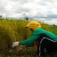 韓国の農家のオモニ(お母さん)稲を刈る
